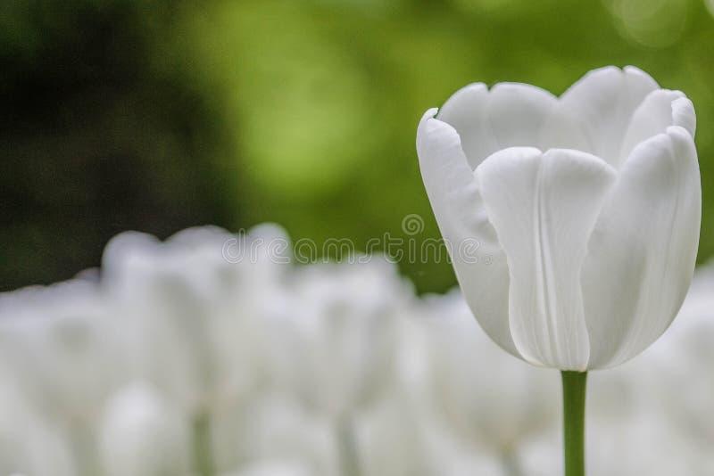Weiße Tulpe im Garten stockfoto