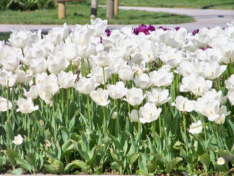 Weiße Tulpen stockfotografie