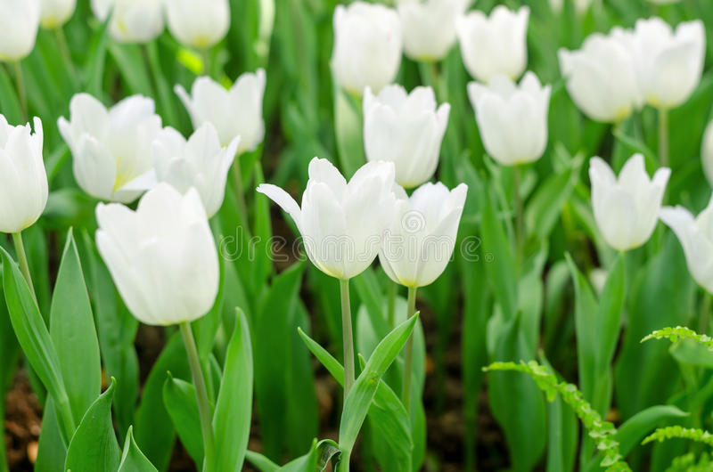 Weiße Tulpen-Blume lizenzfreie stockfotos
