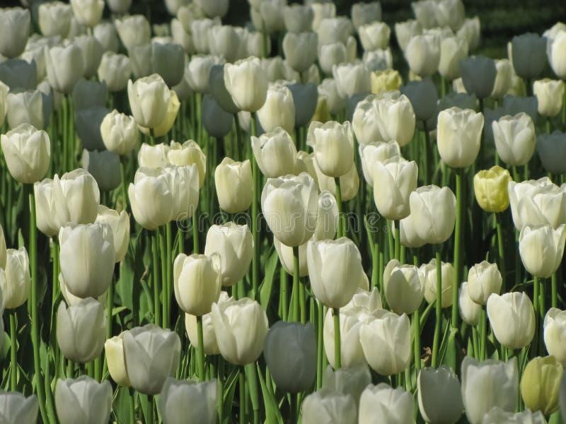 Wei?e Tulpen stellten Sonnenlicht heraus lizenzfreie stockfotografie