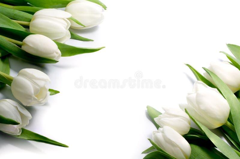 Weiße Tulpen in zwei Ecken, lokalisiert auf weißem Hintergrund stockbilder