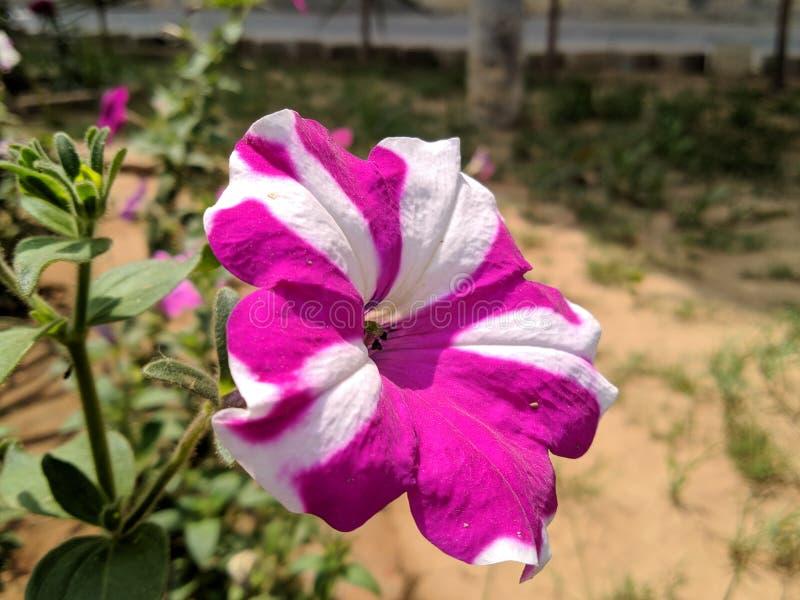 Weiße u. magentarote Petunienblume mit unterschiedlichem Muster von Symmetrie stockfotografie