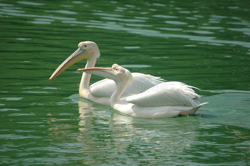 Weiße u. rosafarbene Pelikane, Delhi, Indien lizenzfreie stockfotografie