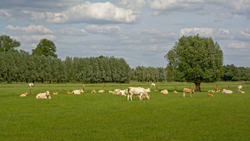 Weiße und beige Kühe in einer Wiese stockbilder