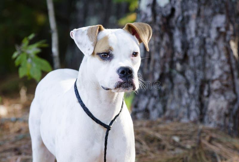 Weiße und braune Boxer-Bulldogge mit brauner Augenklappe stockbild