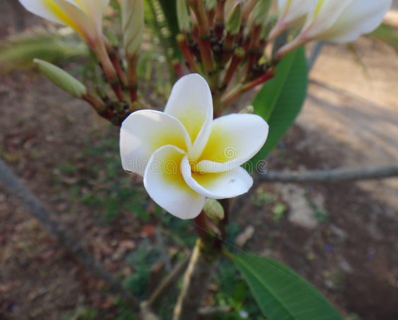 Weiße und gelbe Blume des Frangipani - stockbild