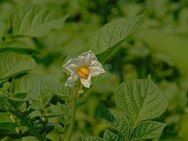 Weiße und gelbe Blume einer Kartoffelpflanze lizenzfreie stockfotos