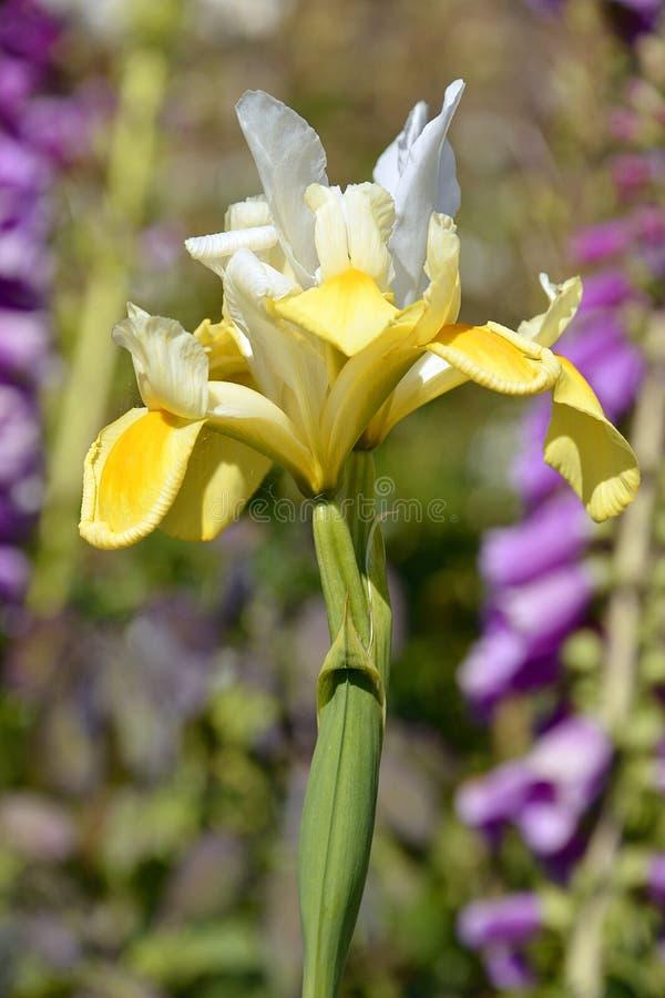 Weiße und gelbe Iris lizenzfreie stockbilder