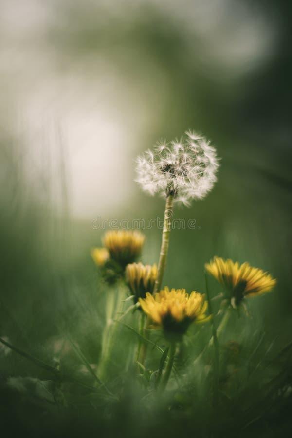 Weiße und gelbe Löwenzahnblumen lizenzfreies stockbild