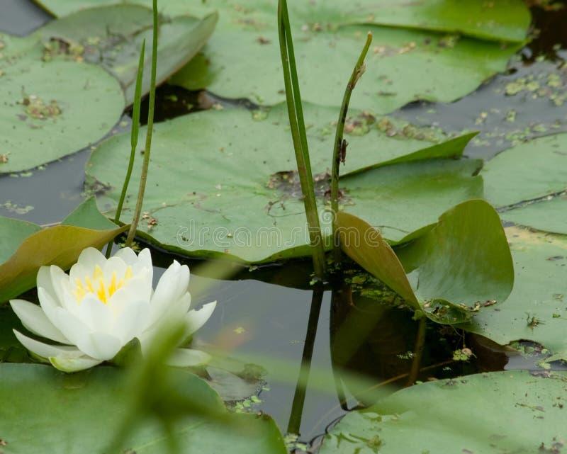 Weiße und gelbe Lilie lizenzfreies stockfoto
