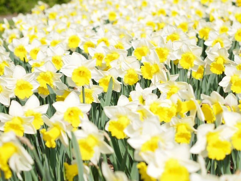 Weiße und gelbe Narzissen stockfotografie