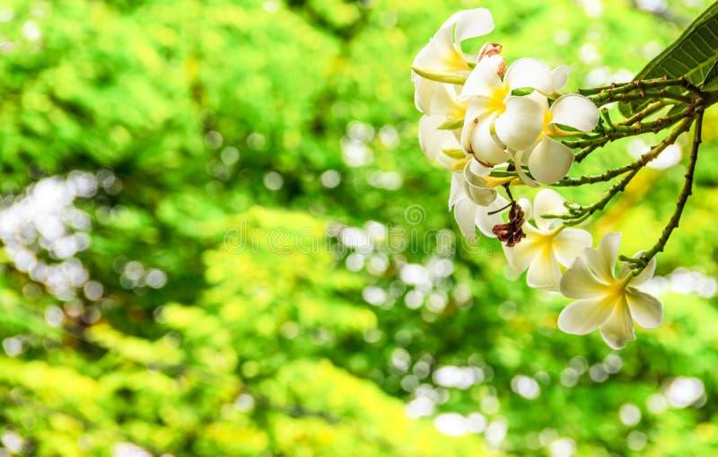 Weiße und gelbe Plumeriablume auf Plumeriabaum mit magischen funkelnden hellen bokehs durch den Busch als Hintergrund im Park lizenzfreie stockbilder