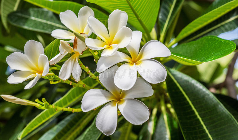 Weiße und gelbe Plumeriablumen lizenzfreie stockfotografie