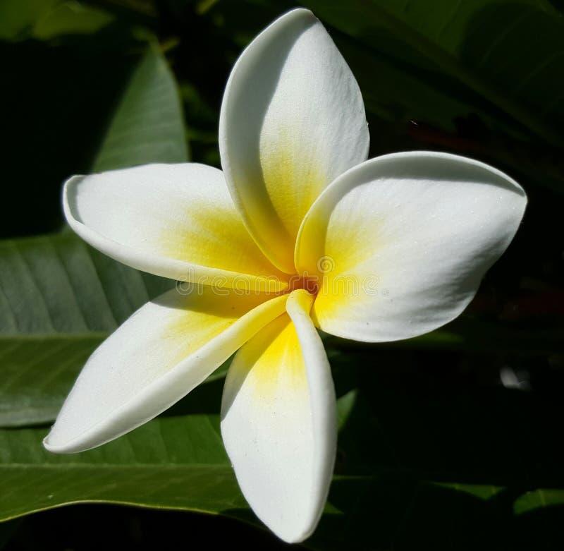 Weiße und gelbe Schönheit lizenzfreie stockbilder