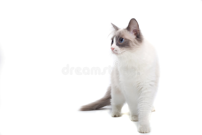 Weiße und graue Katze stockfotos