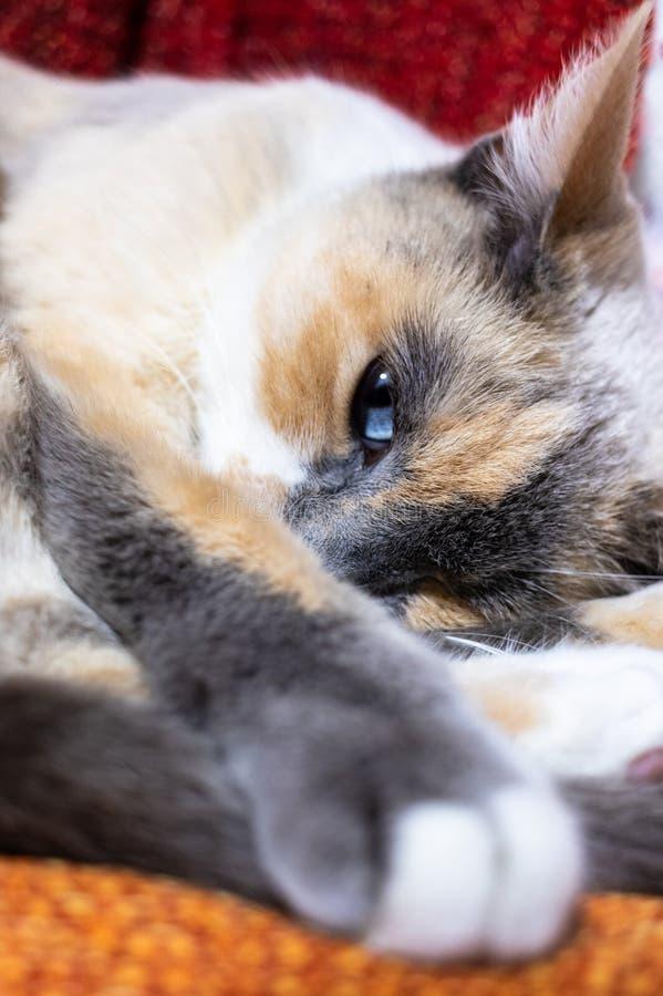 Weiße und graue Katzenfrau mit Blauhimmelauge stockbilder