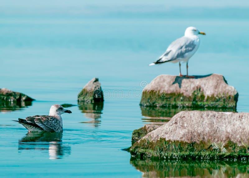Weiße und graue Seemöwenvögel, die auf Stein sitzen und auf Meerwasser schwimmen Schöner natürlicher horizontaler Hintergrund lizenzfreie stockbilder