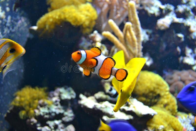 Weiße und orange Fische Clownfish -, Korallenriff stockbilder