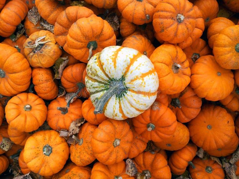 Weiße und orange Mini-pumkins stockbild