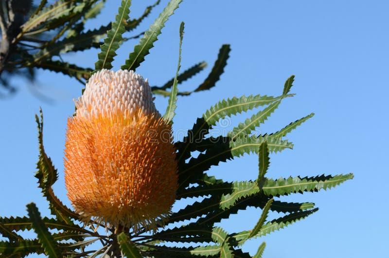 Weiße und orangefarbene Inflreszenz der Acorn Banksia, Banksia prionotes, Familie Proteaceae stockfotos