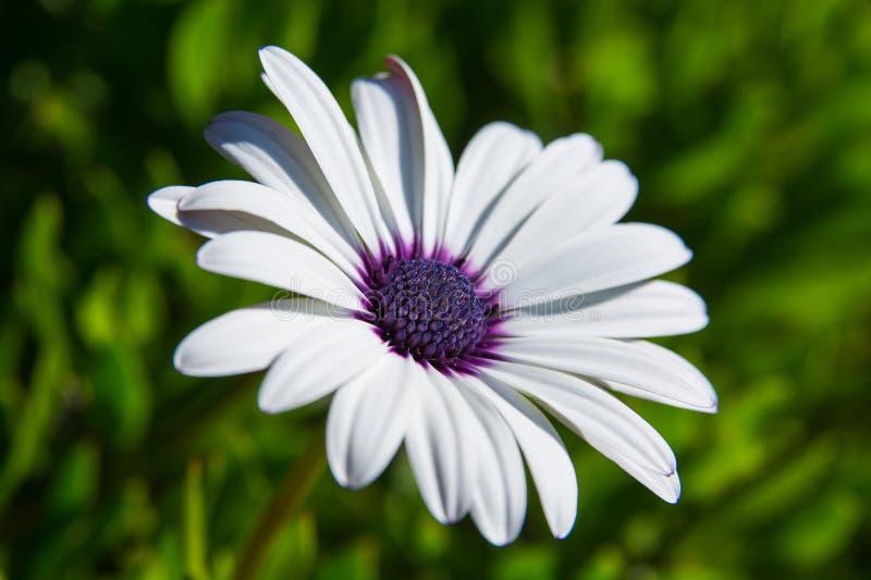 Weiße und purpurrote Blume lizenzfreie stockbilder