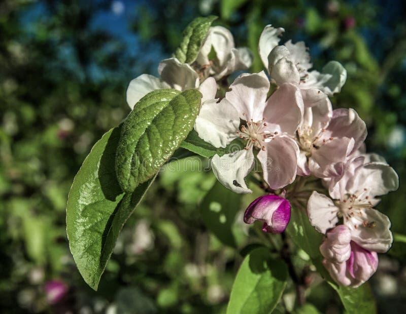 Weiße und purpurrote Blume in der Sommer-Schönheit Sun lizenzfreie stockbilder