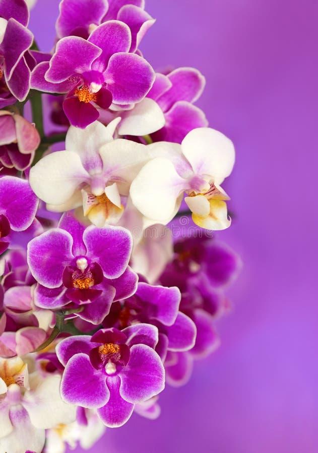 weiße und purpurrote Orchideenblumen lizenzfreie stockbilder