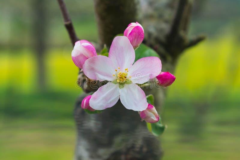 Weiße und rosa Blumen auf einer Niederlassung mit vielen Licht auf dem Gebiet lizenzfreie stockfotos