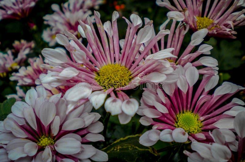 Weiße und rosa Blumen im Garten im kodaikanal lizenzfreie stockfotografie