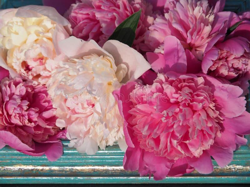 Weiße und rosa Pfingstrosen in einer Rahmennahaufnahme lizenzfreie stockbilder