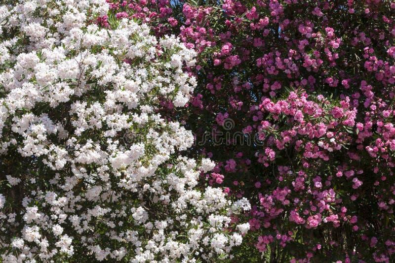 Weiße und rosa Pfingstrosenblume stockfoto
