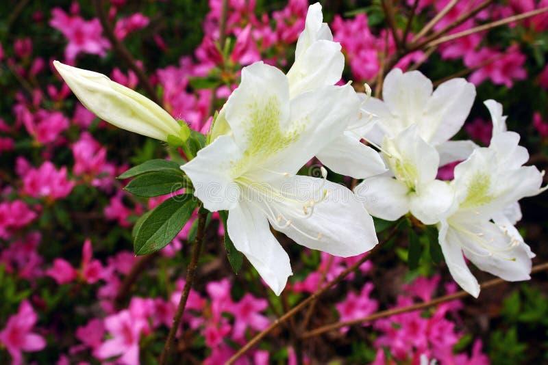 Weiße und rosafarbene Azaleen in der Blüte stockfotos