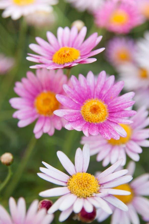 Weiße und rosafarbene Gänseblümchen lizenzfreie stockbilder
