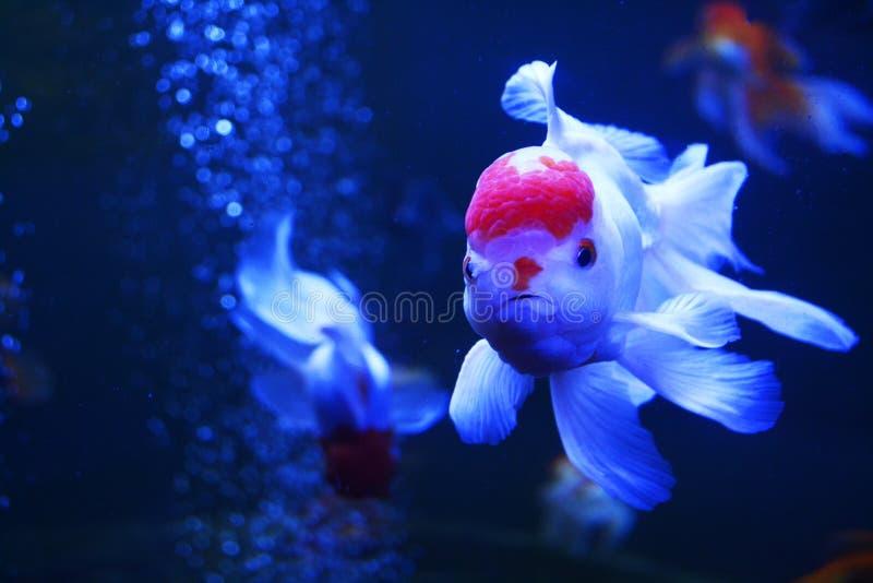 Weiße und rote Fische lizenzfreie stockbilder