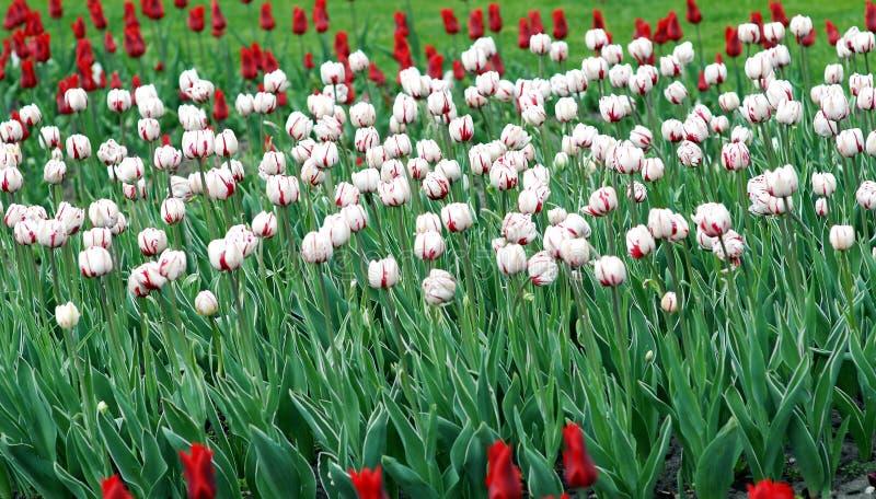 Weiße und rote Tulpen lizenzfreies stockbild