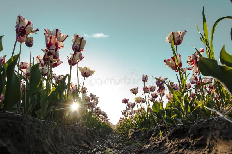 Weiße und rote Tulpen in Holland bei Sonnenuntergang lizenzfreie stockbilder