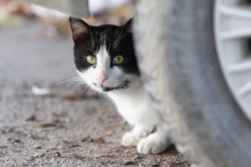 Weiße und schwarze Katze lizenzfreie stockbilder