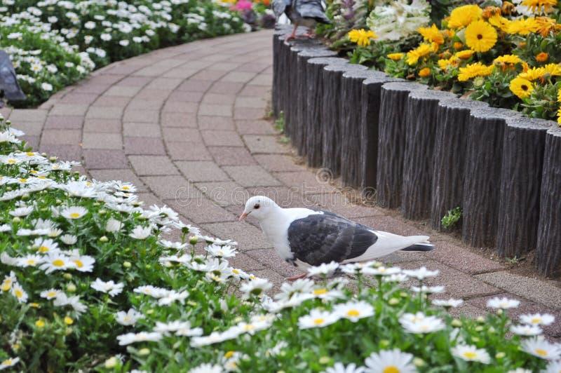 Wei?e und schwarze Taube, die nahe Blumen geht stockbild