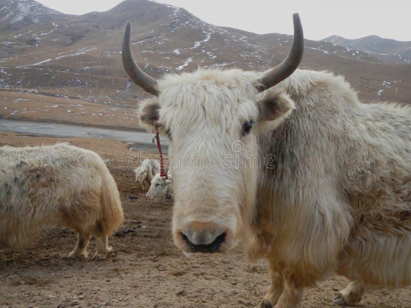 Weiße und schwarze Yak lizenzfreie stockfotos