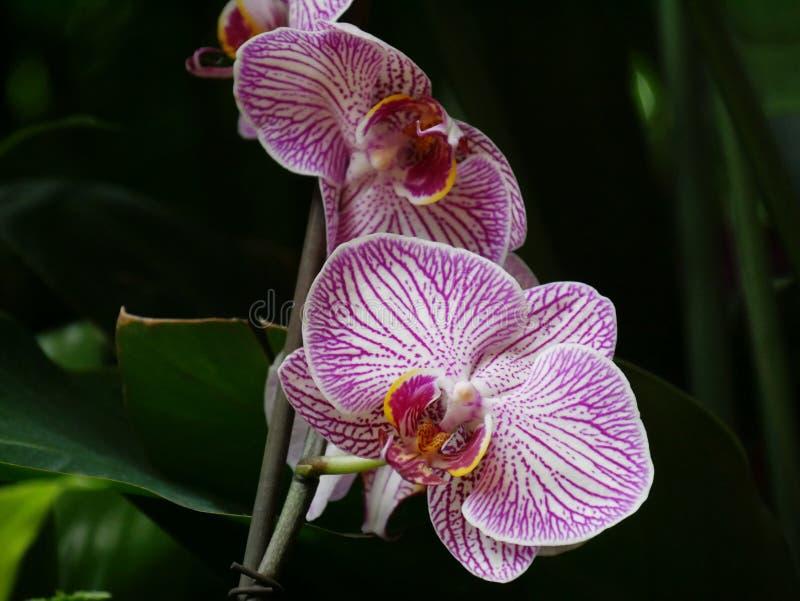 Weiße und violette Orchideen schließen oben stockbild