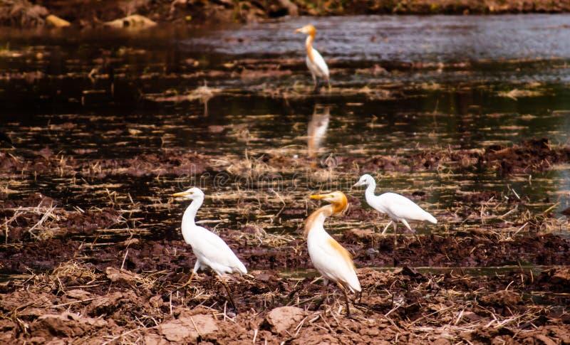 Weiße Vögel, die um das geerntete Reisfeld gehen und für Lebensmittel, kleine Insekten und Fische in der Landschaft aufpassen lizenzfreies stockfoto