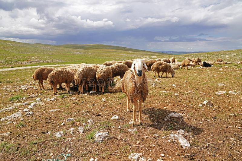 Weiße vorangegangene Schafe, die neugierig in die Kamera und das große NU schauen lizenzfreie stockfotografie