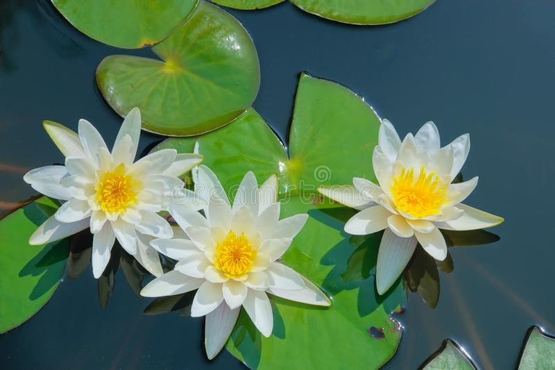 Weiße Wasserlilie lizenzfreie stockbilder