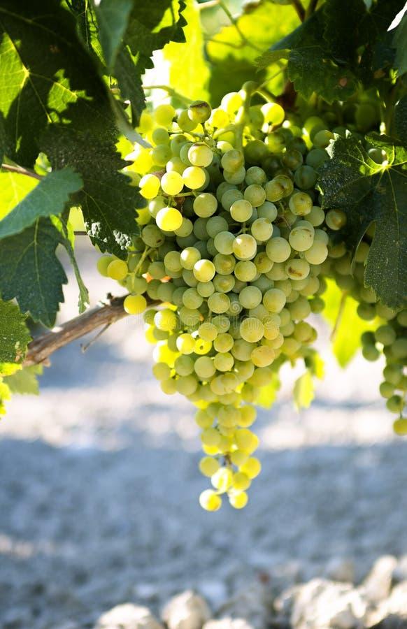 Weiße Weintrauben im Weinberg lizenzfreies stockfoto