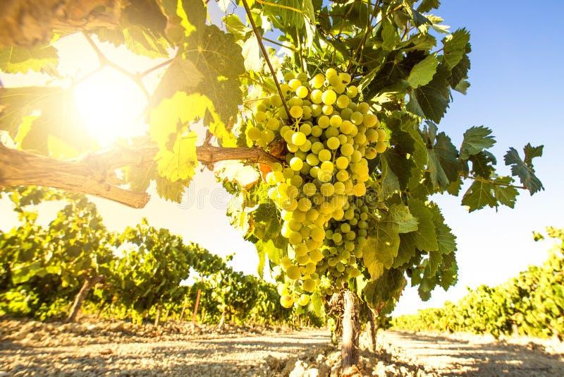Weiße Weintrauben im Weinberg stockfoto