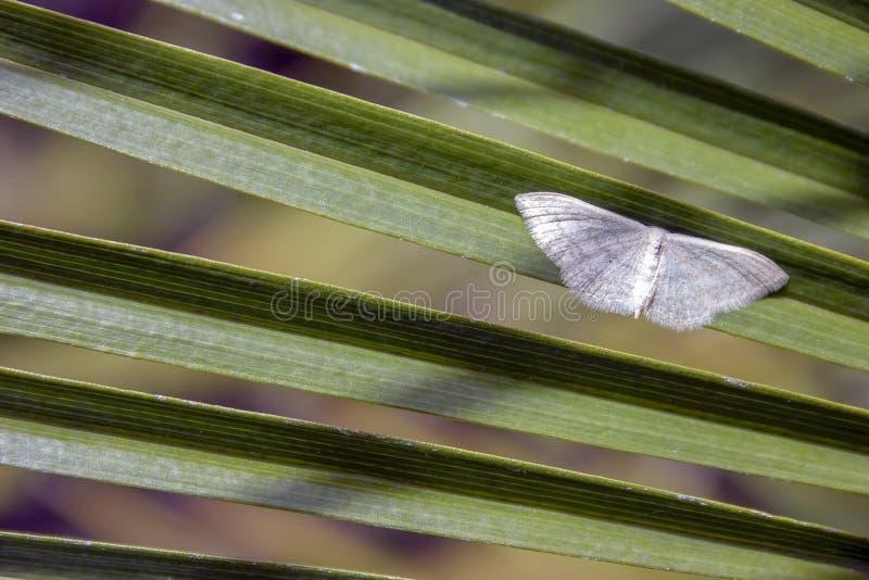 Weiße Wellenmotte auf einem Palmeblatt lizenzfreies stockbild
