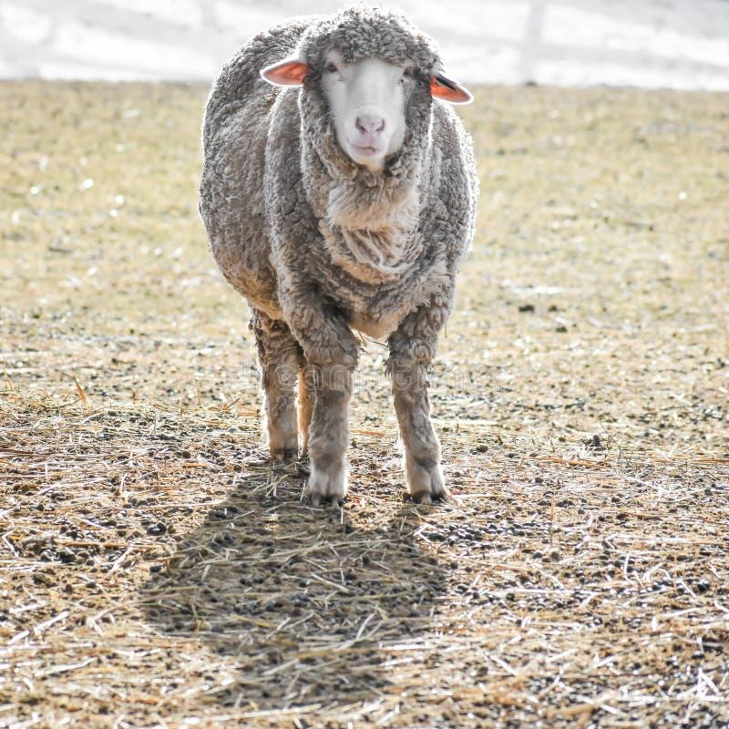 Weiße Whooly-Schafe mit den Ohren, die heraus haften lizenzfreies stockbild
