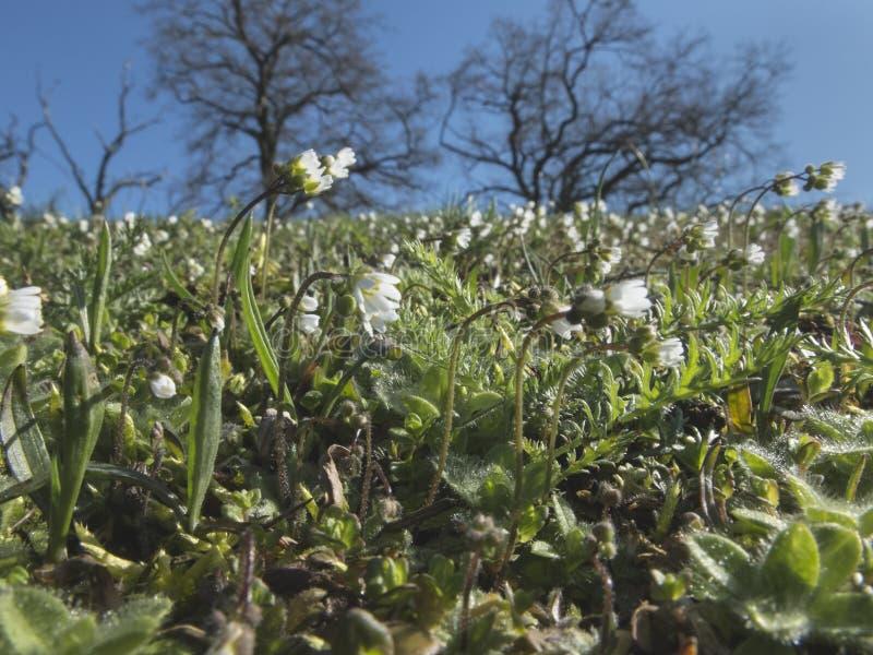 Weiße Wiese der Wildflowers im Frühjahr lizenzfreies stockfoto