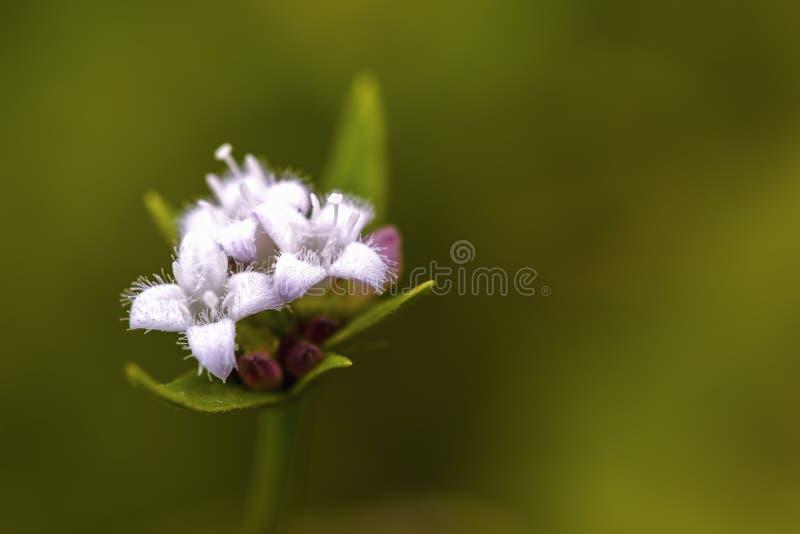 Weiße wilde Blumen der bogbean Anlage stockbilder