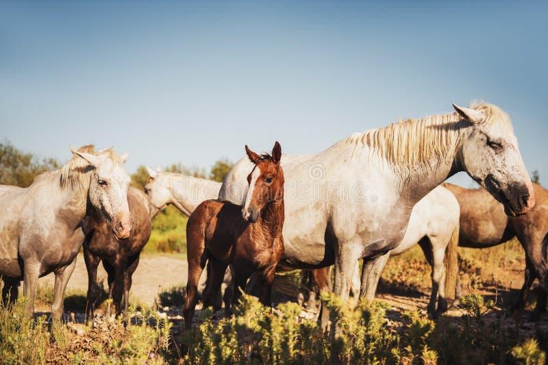 Weiße wilde Pferde und Colt im Naturreservat in Parc Regional de Camargue lizenzfreies stockfoto